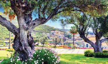olivo-pianta-archiverde-giardini-eupilio