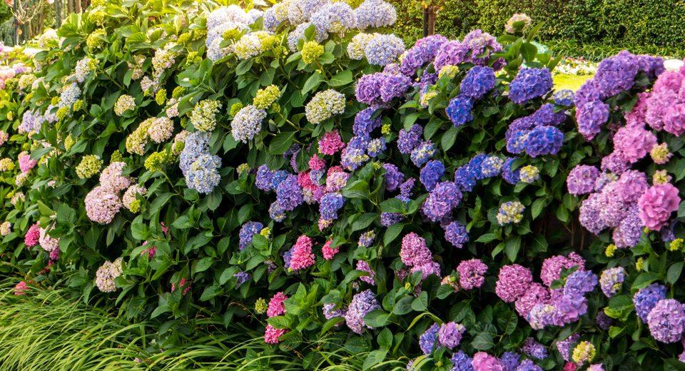 archiverde-giardini-giardino-ortensie
