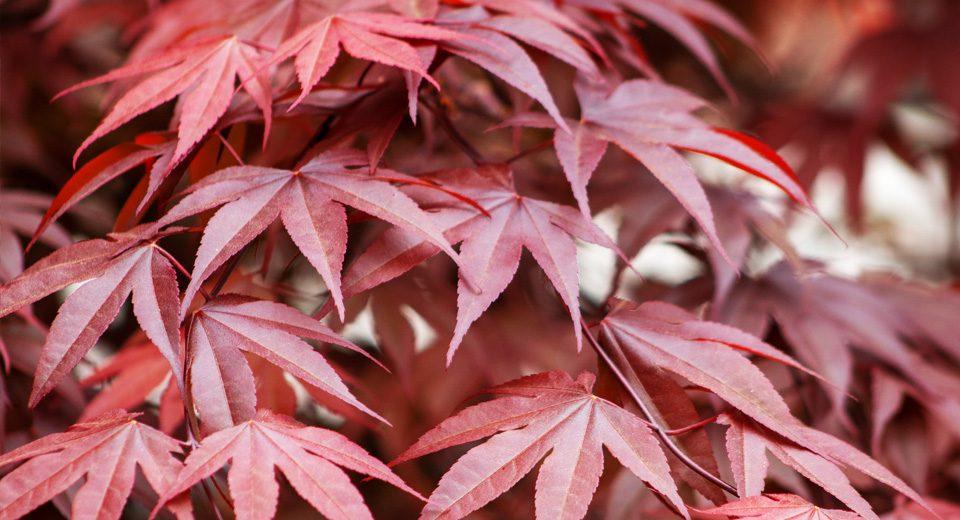 archiverde-acero-giapponese-giardino