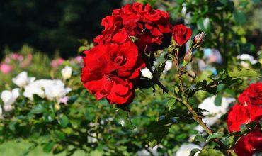archiverde-giardini-roseto